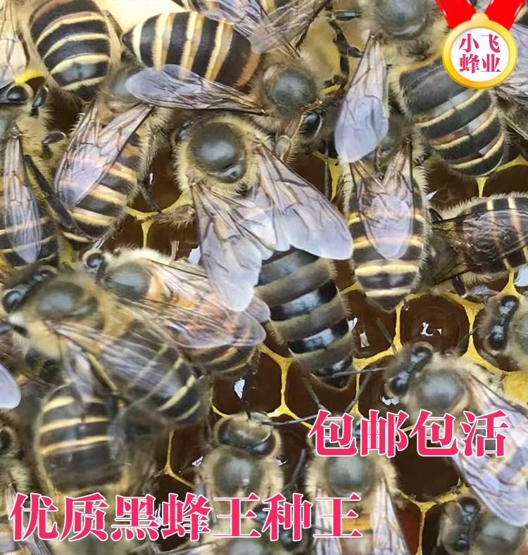 中蜂种蜂王中蜂活体产卵新开产王 非双色蜂王 阿坝处女中蜂王包邮
