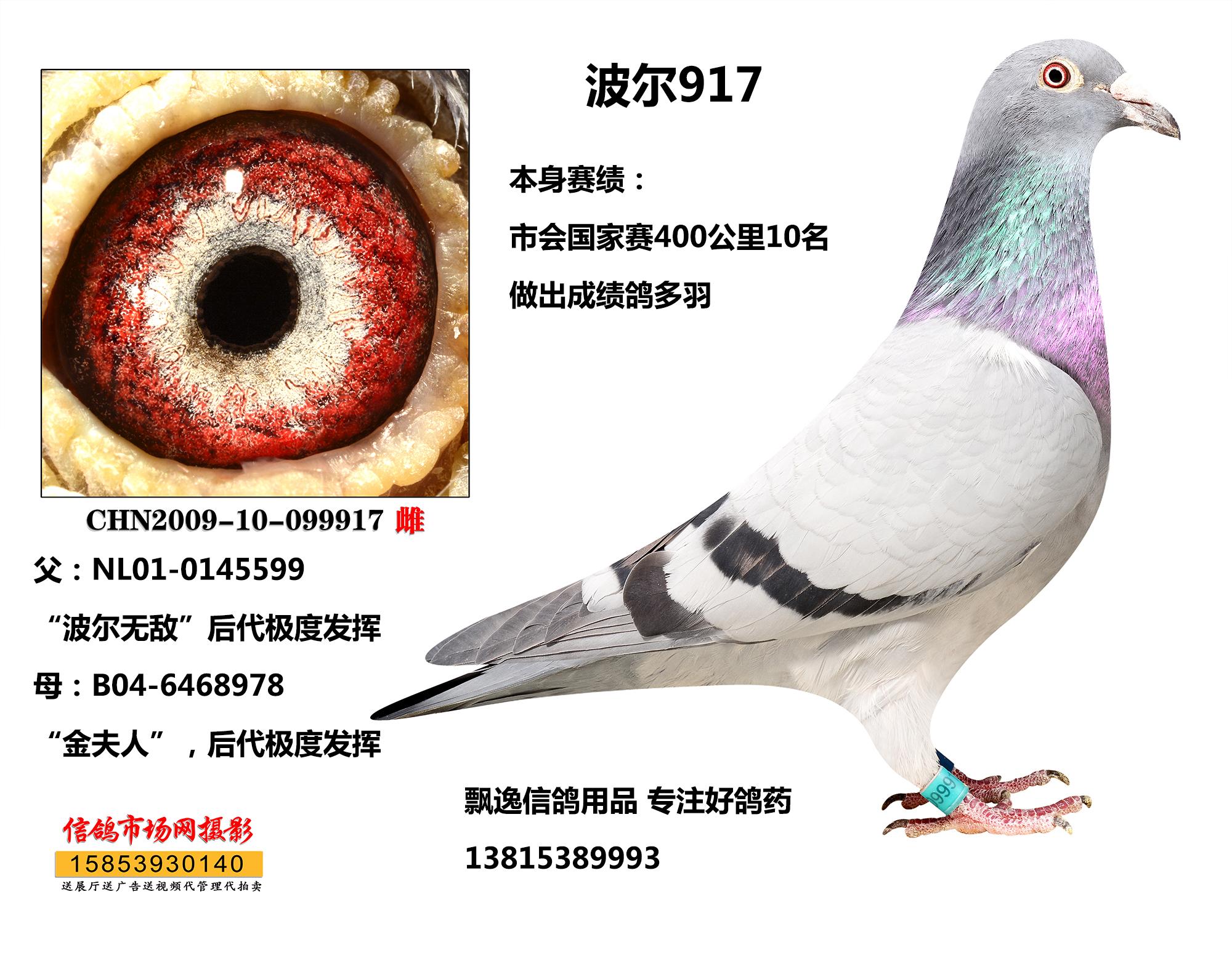 信鸽 赛鸽 种鸽/林波尔x万候 超级种雌 子代预订价
