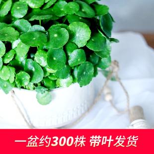带叶铜钱草水培植物办公室内盆栽客厅桌面绿植花卉趣味水养金钱草