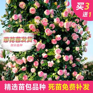 藤本月季大花浓香四季开花蔷薇花苗爬藤攀援植物庭院阳台玫瑰盆栽