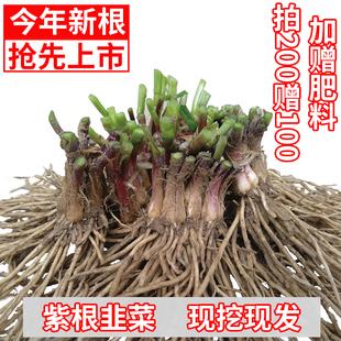 韭菜根苗现挖紫红头小本地宽叶种子籽阳台盆栽种菜四季蔬菜活苗