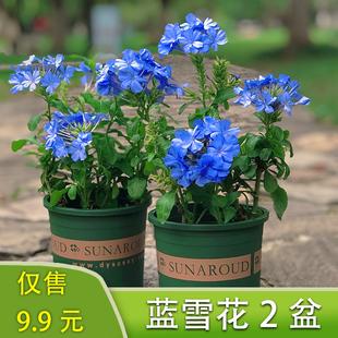 淡雅清新!蓝雪花盆栽带花苞大苗棒棒糖花卉耐热阳台好养四季开花