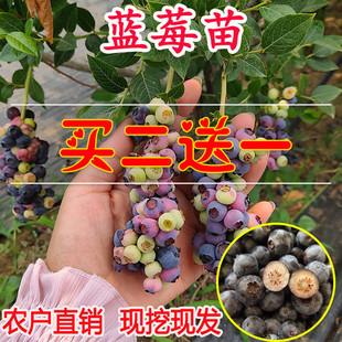 蓝莓苗盆栽蓝莓树苗兔眼蓝莓果苗南方北方四季种植地栽当年结果树