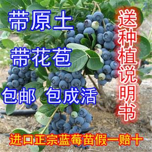 2颗包邮盆栽蓝莓苗蓝莓树苗蓝莓盆栽苗蓝莓结果苗南方北方品种