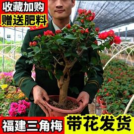 三角梅老桩爬藤植物盆栽带花四季开花室外阳台庭院三角梅大苗树苗