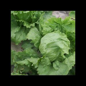 新鲜汉堡农家种植带箱5斤球生菜