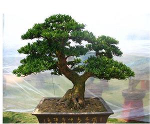 雀舌罗汉松盆景树桩室内盆栽造型树