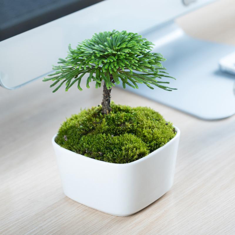 好养活的小盆栽绿植物办公室内茶桌面盆景九死还魂草野生卷柏蕨类