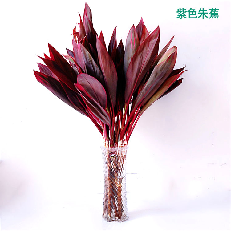 紫叶茱蕉 富贵竹水培 金边竹室内植物桌面盆栽大叶竹净化空气包邮