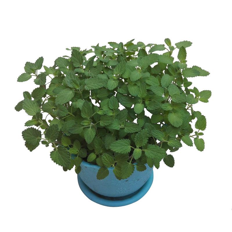 猫薄荷种子樟脑草小薄荷猫草种籽土荆芥花卉盆栽食用薄荷苗春四季