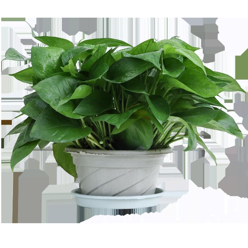 艾荟萃 绿萝盆栽客厅卧室除甲醛空气净化室内植物绿植盆栽水培植