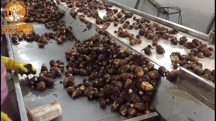 Chinese New Crop Natural Fresh Taro Eddo Export Sale