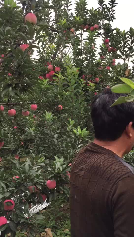 Chinese rode ster apple