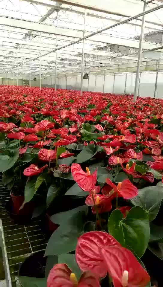 Sier Rood Roze Wit Anthurium plant voor verkoop