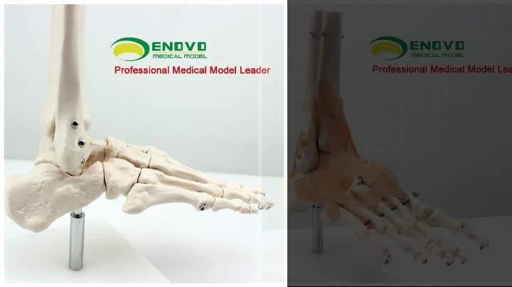 Joint13 12360 Medical Anatomy Medical Anatomical Life Size Upper