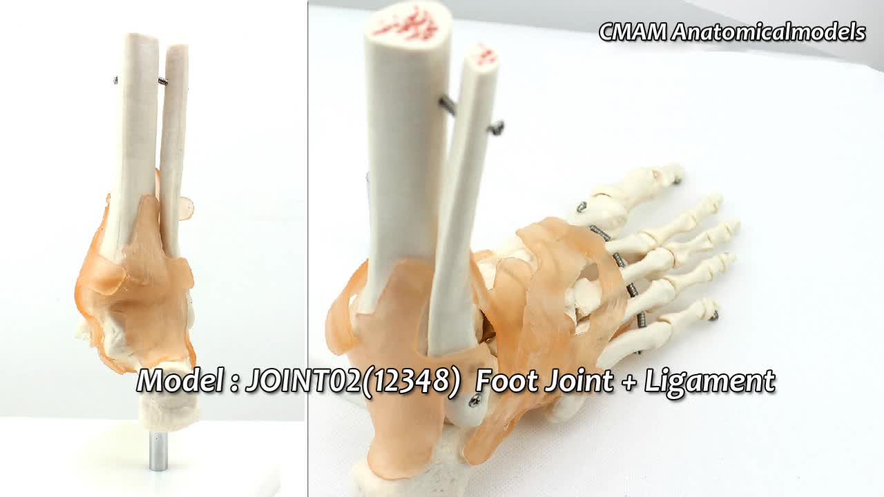Joint05 (12351) Medical Anatomy Science Humans Skeleton Knee Joint ...