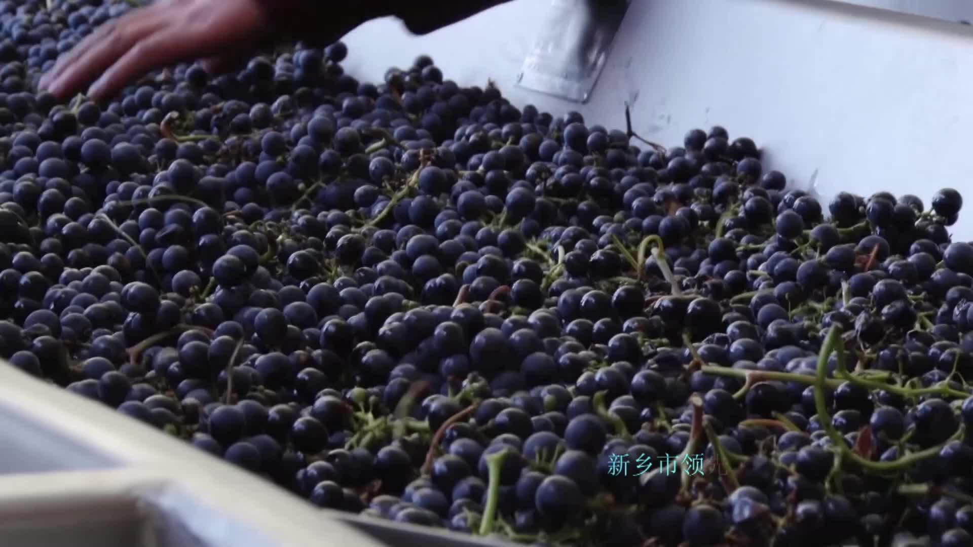 Produção industrial do equipamento da adega 3T / H da maquinaria do processamento do vinho da uva Tabela industrial de classificação do equipamento do processo da uva