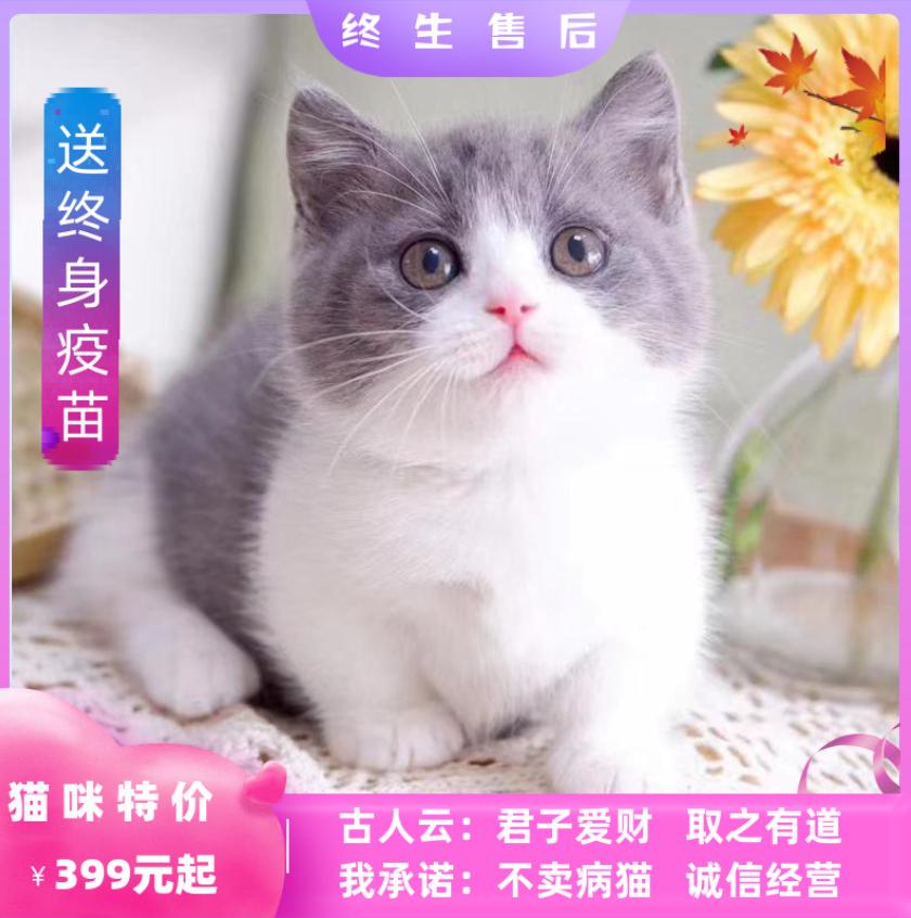 纯种折耳美短英短蓝白蓝猫金银渐层加菲猫布偶猫幼猫宠物猫咪活体
