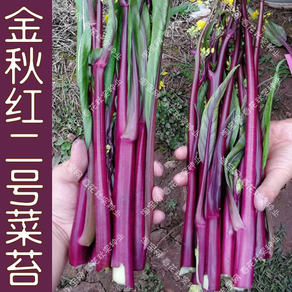 金秋紅二号赤菜苔の種白菜苔心秋播き野菜の種ベランダ鉢植え大田高産