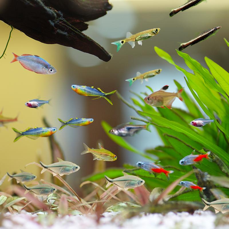 活小鱼红绿灯鱼小型灯科群游鱼热带观赏鱼宝莲灯鱼活体鱼淡水好养