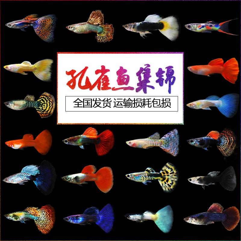 孔雀鱼活体凤尾红绿灯淡水宠物金鱼苗纯种小型胎生热带小鱼观赏鱼