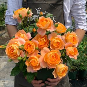 果汁阳台月季花苗盆栽庭院玫瑰蔷薇花苗四季开花卉机器浓香绿植物