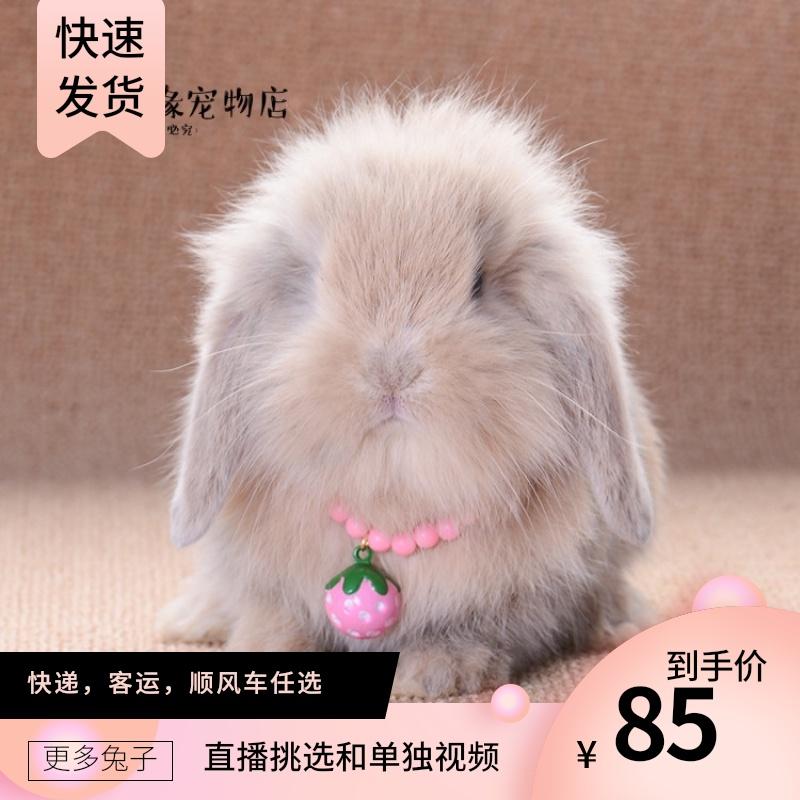 宠物兔活物垂耳兔子活体侏儒猫猫公主茶杯荷兰迷你兔网红小型宠物