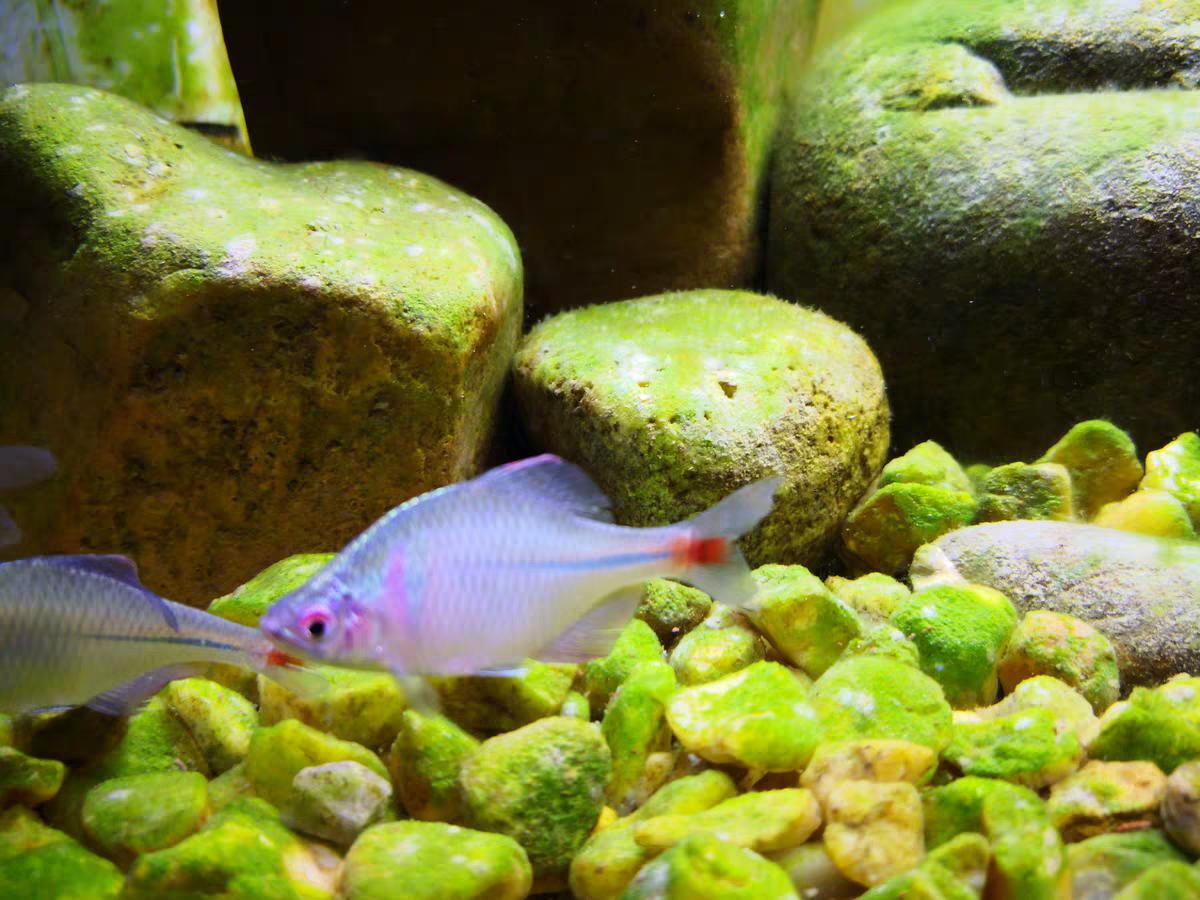 高体鳑鲏旁皮除藻观赏鱼活体水族宠物中国原生鱼群游小型淡水冷水