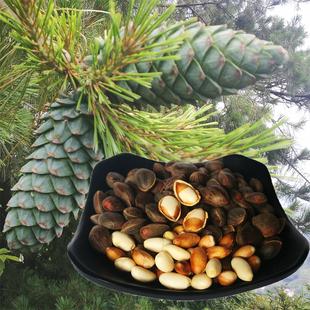 乡约一号贵州野生原味松子新鲜湿松子生松子1斤500g可发芽不开口