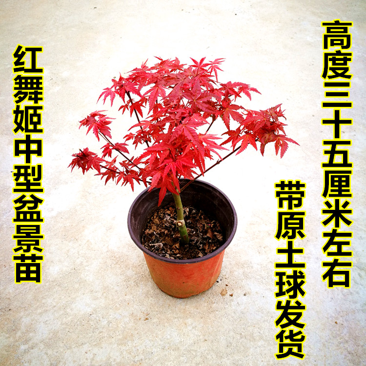 日本红枫盆景 四季红枫树苗红舞姬盆景微型树桩观叶盆栽植物室内