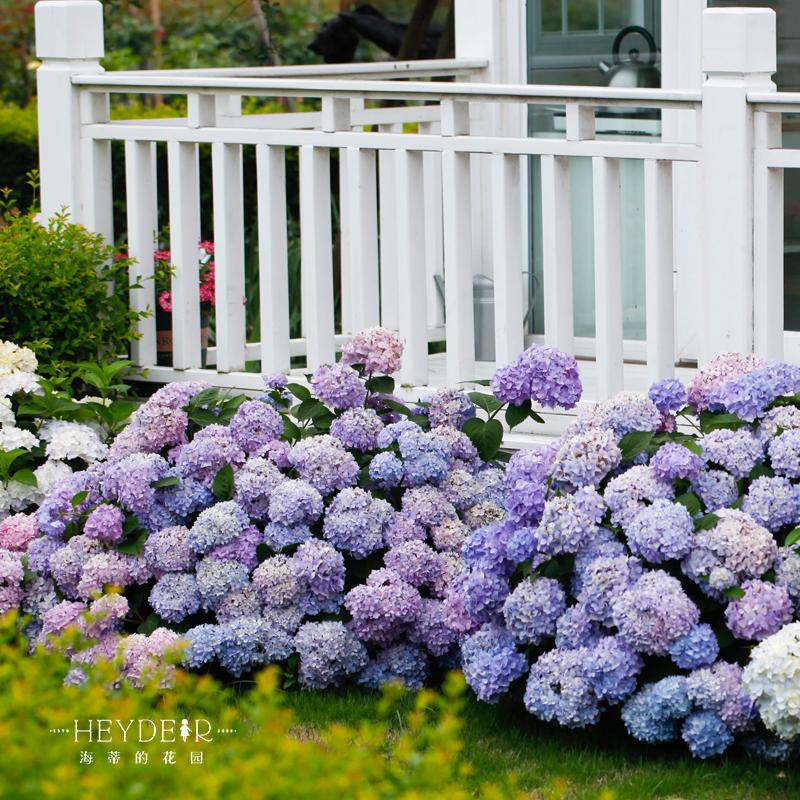 海蒂的花园无尽夏爆米花爱莎等海妈家绣球花阳台花卉盆栽