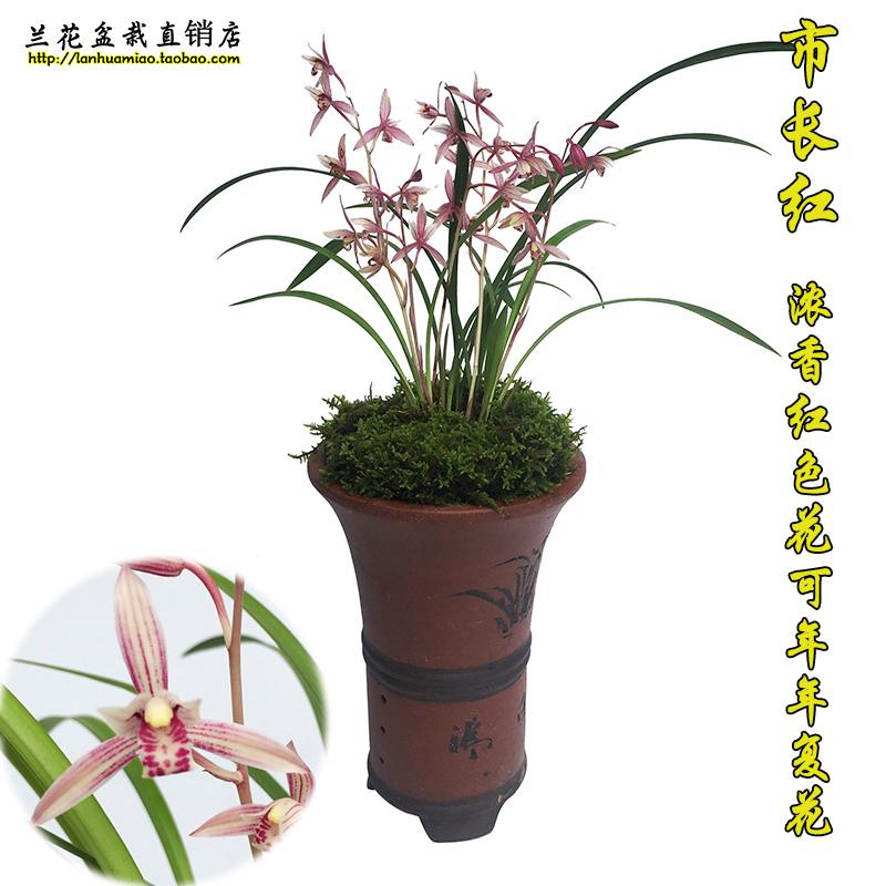现带花苞出售 市长红 建兰四季兰花苗中矮种兰草办公室内花卉盆栽