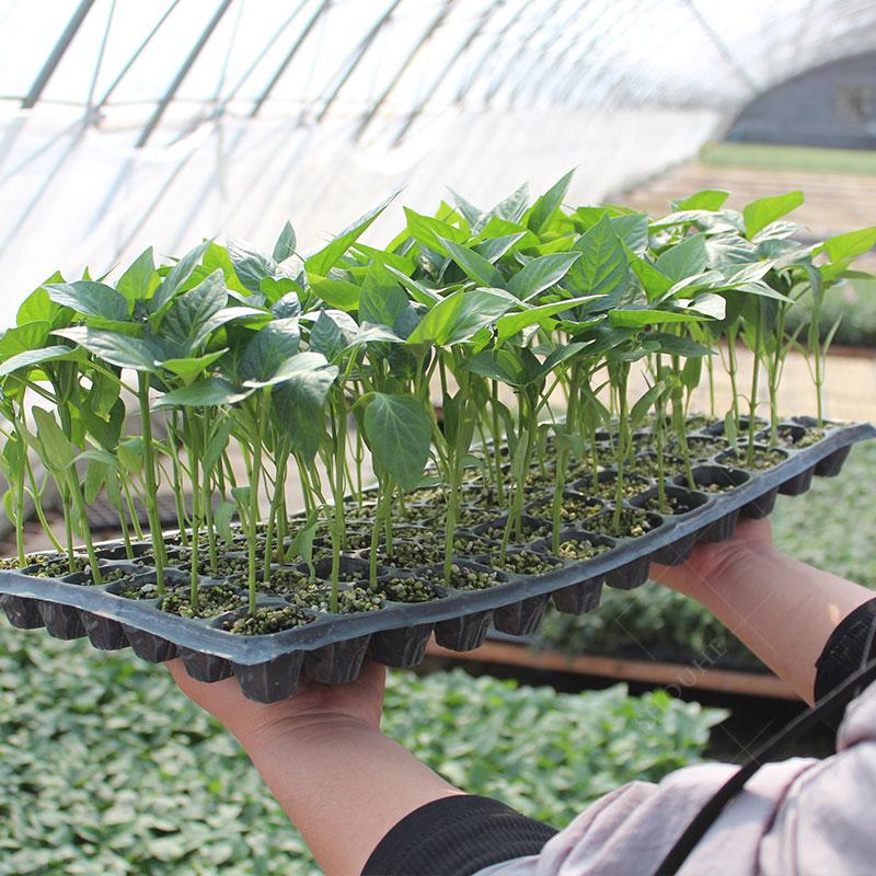 蔬菜苗幼苗番茄种子种籽小辣椒秋葵黄瓜秧苗四季种苗孑秧西瓜菜