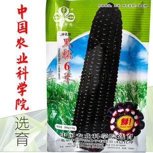 黑糯黑甜糯玉米种子黑糯玉米糯甜高产粘四季黑玉米种籽孑农业大田