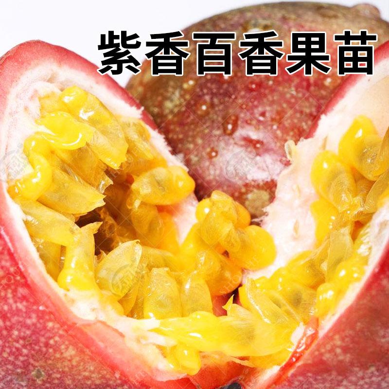 紫香一号百香果苗 当年果树苗 四季爬藤种籽广西广东南方百香果