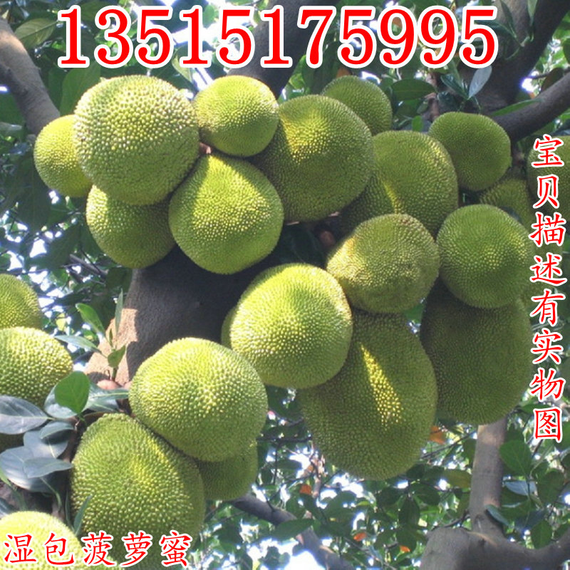 榴莲蜜苗树 新品种嫁接果树苗南方种植菠萝蜜苗四季水果树苗盆栽图片