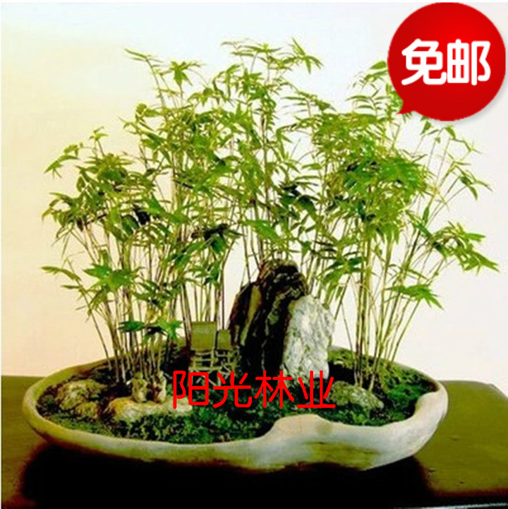 米竹苗盆景竹子凤尾竹观音竹观赏竹子庭院微型小型米竹盆栽包邮