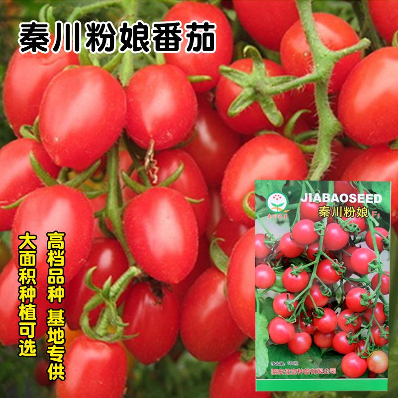 小番茄种子阳台盆栽四季樱桃番茄籽 圣女果西红柿苗种子 进口高产