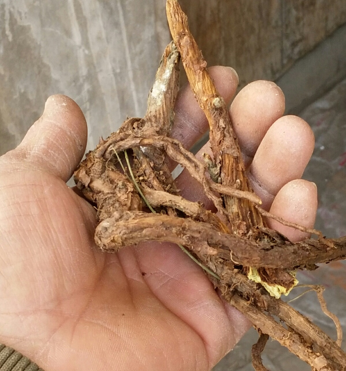 В трава медицина лесоматериалы шаньси провинция лицо графство система месяцы хит желтый кожанный Цинь чистый дикий желтый Цинь полый высохший Цинь особая цена джин пакет mail