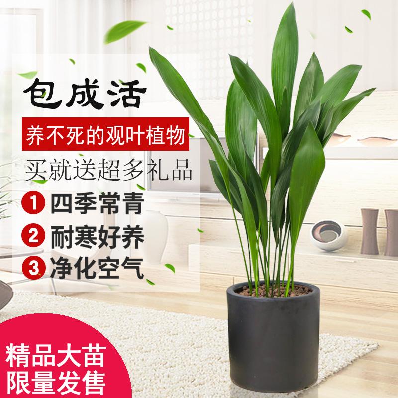 一叶兰盆栽植物室内四季花卉观叶植物客厅耐寒好养大叶绿植吸甲醛