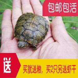 乌龟活物大巴西龟活体宠物龟长寿观赏龟绿色小彩龟水龟活物红耳龟