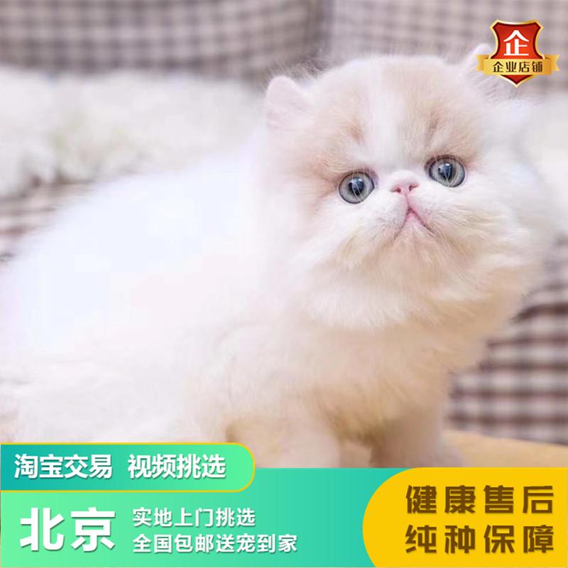 纯种加菲猫幼猫异短猫活体加白大饼脸加菲幼崽长毛波斯猫宠物猫图片