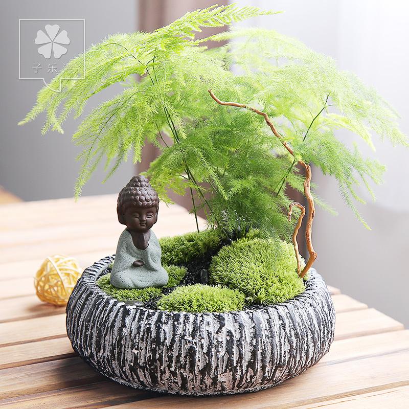 文竹盆栽盆景花卉四季常青绿植物桌面办公室内小盆栽好养绿植物