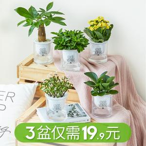 发财树室内好养绿植小盆栽花卉吊兰绿萝水培富贵竹多肉植物芦荟
