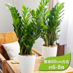 金钱树盆栽发财树室内植物净化空气客厅招财树盆栽花卉绿植摇钱树