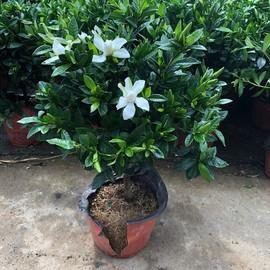 小叶栀子花盆栽老桩大盆带花苞室外庭院花园好的花有香味四季开花图片