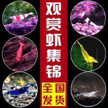 包邮 水族宠物虾 虾活体除藻工具虾水晶虾樱花虾极火虾 观赏虾活体
