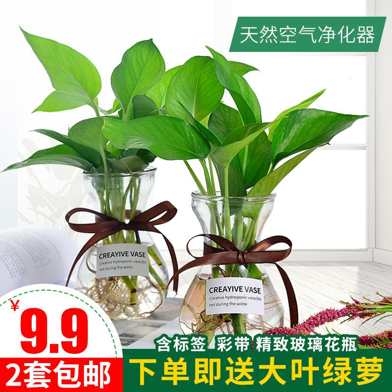绿萝水培植物绿萝盆栽室内花卉绿植摆件水养植物吸甲醛净化空气