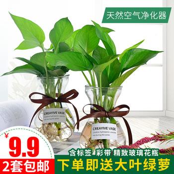 水培植物室内绿植摆件水养绿萝