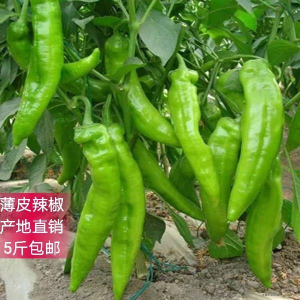 山东省农家新鲜蔬菜辣椒现摘现发 虎皮嫩薄青椒大牛泡椒5斤包邮